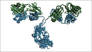 Structure of an antibody showing its heavy chain in blue and its light chain in green.